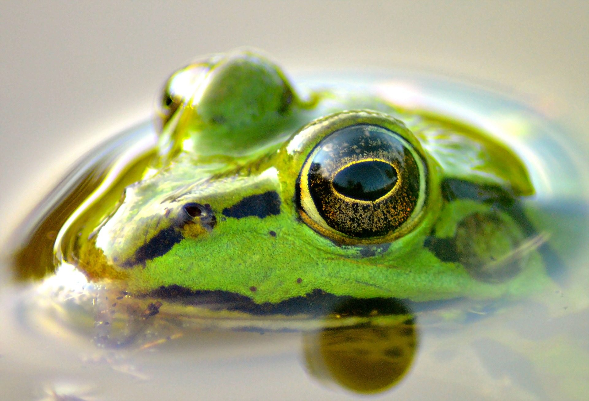 Βάτραχος, Αμφίβια, τα μάτια, CHARCA, δέρμα, νερό - Wallpapers HD - Professor-falken.com