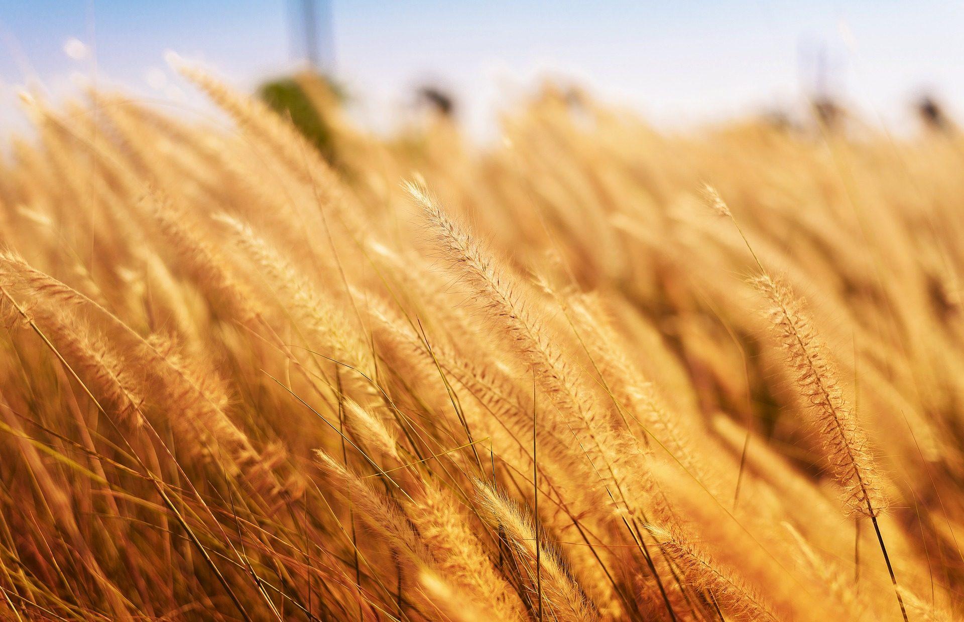 小麦, 人工林, 培养, 农场, 农业 - 高清壁纸 - 教授-falken.com