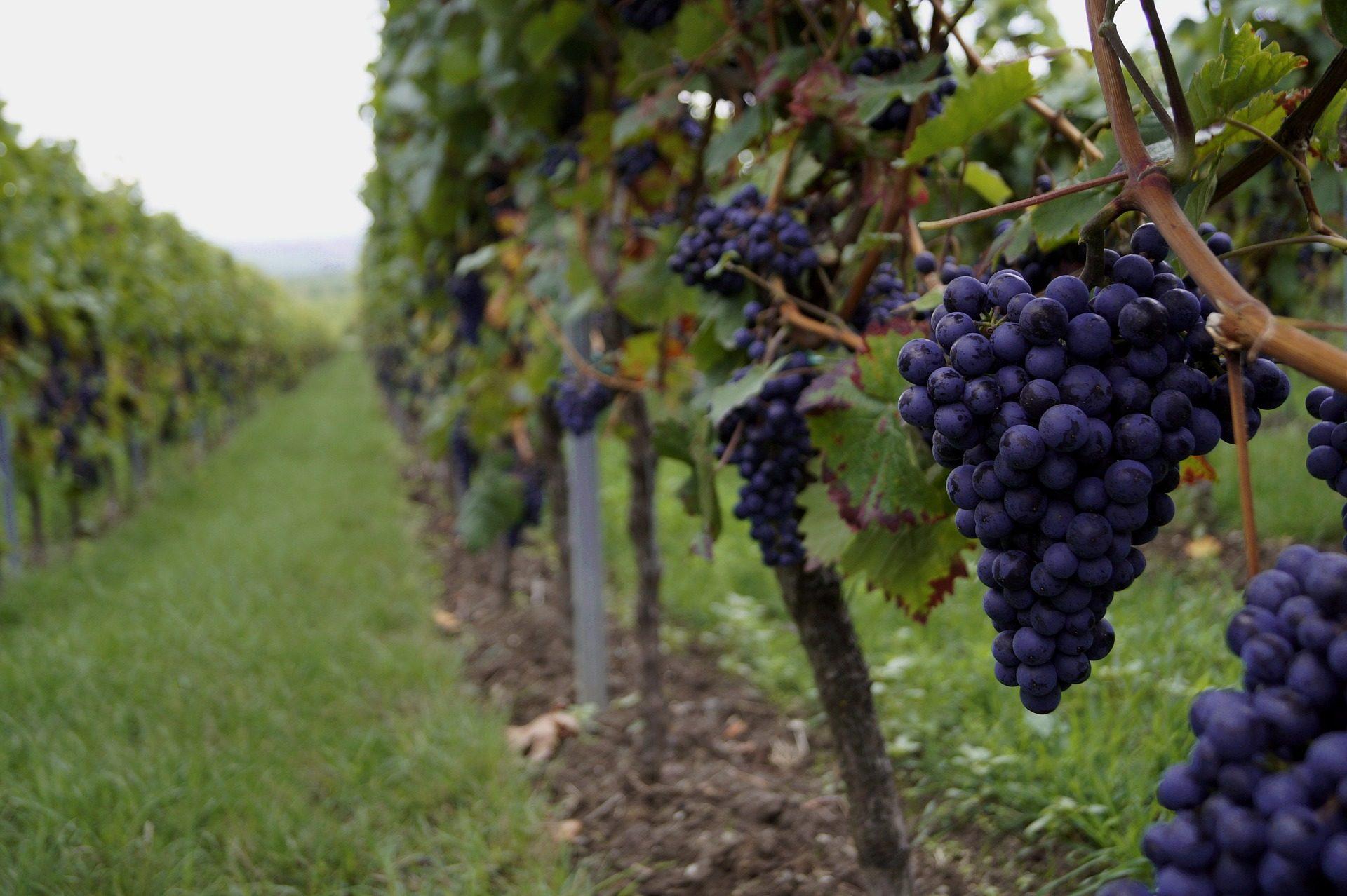 العنب, الفواكه, كرمه, زراعة, مزرعة, سباس - خلفيات عالية الدقة - أستاذ falken.com